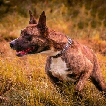 Царевна - Собаки в добрые руки
