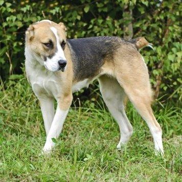 Азиза - Собаки в добрые руки