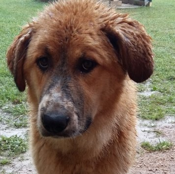 Каштан - Собаки в добрые руки