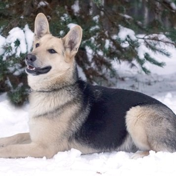 Cтигер - Собаки в добрые руки