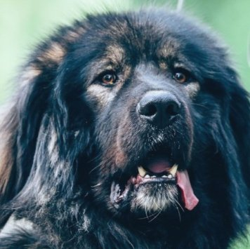 Кавказец - Собаки в добрые руки
